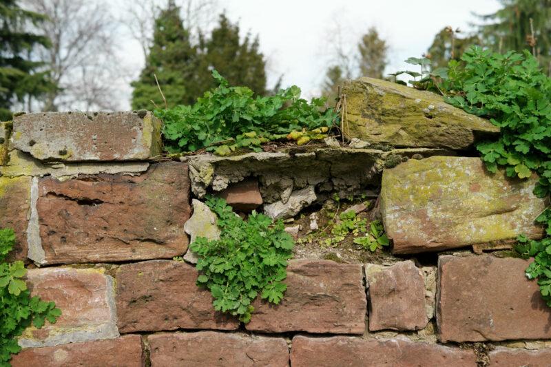 Schöllkraut auf einer Mauer